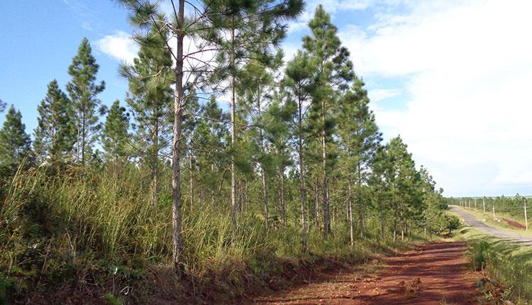 Bosque de la empresa Forsimac en Pinar del Río