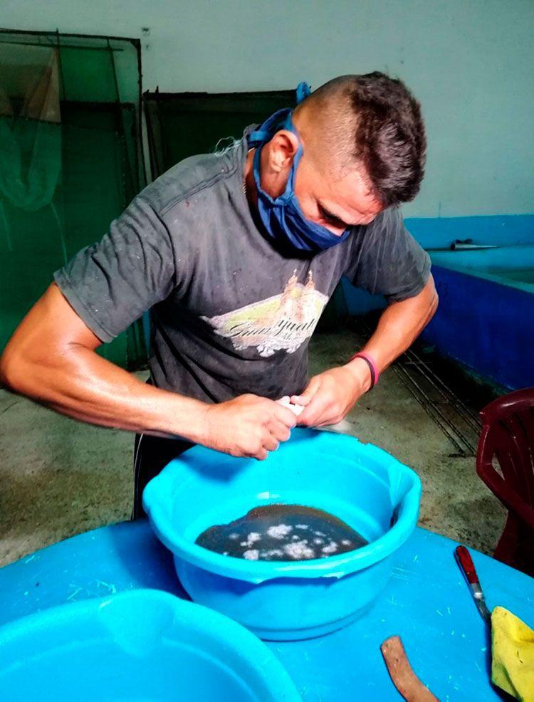 La fertilización artificial de los huevos de la claria garantiza la sobrevivencia de las larvas en los estanques