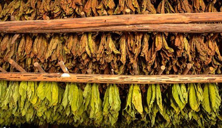 Incrementan rendimientos tabacaleros en Consolación del Sur