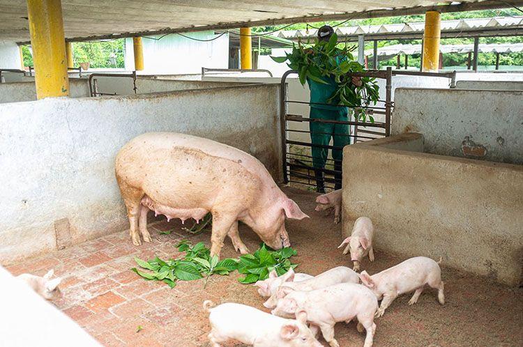 alimentacion de cerdos