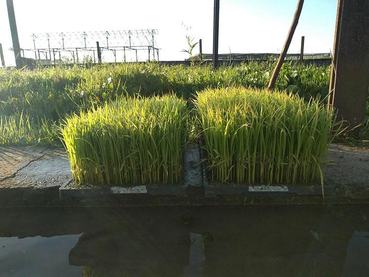 arroz pinar del rio3