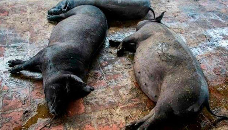 Centro  Porcino El Rosario en Pinar del Río potencia la cría de cerdos de capa oscura