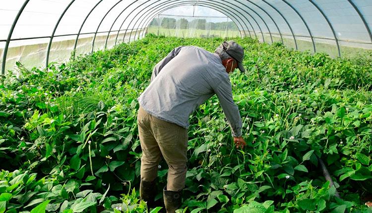 El cultivo de hortalizas en túneles para tabaco, es una de las alternativas para la producción de alimentos frescos y el aprovechamiento de los recursos de la agricultura. / Foto: Januar Valdés Barrios