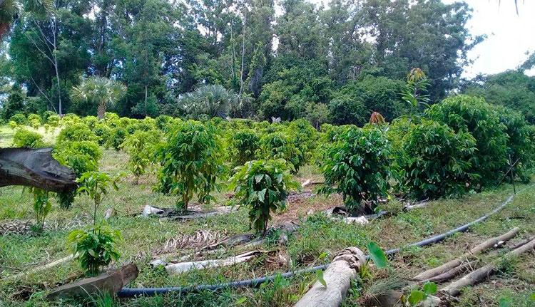 Ya tienen los cafetos, en breve comenzarán a trasplantar las matas de plátano para sombra. / Foto: Jaliosky Ajete Rabeiro