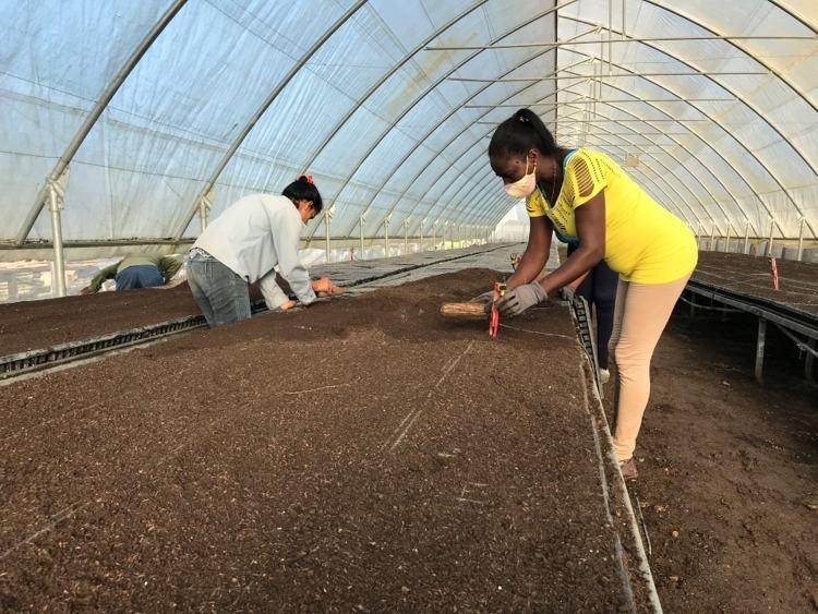riega de semilleros en bandeja de tabaco Virginia ftp 3