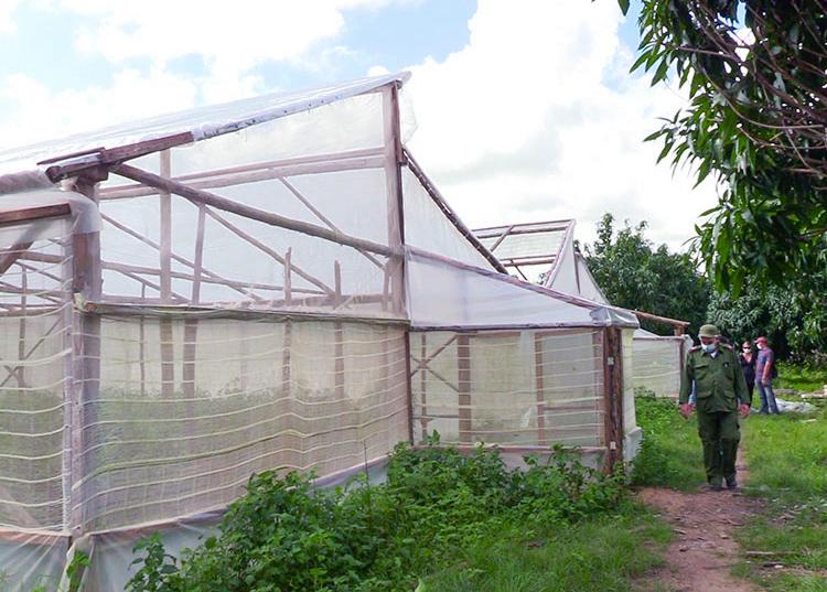 En una de las parcelas productivas del Consejo Popular de Herradura se intenciona la cosecha del tomate.