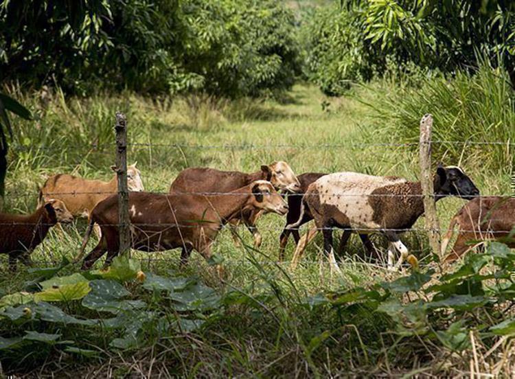 La agricultura de conservación contempla el mínimo o ningún disturbio mecánico del suelo e incorpora el pastoreo de animales como técnica agroecológica. / Foto:  Ismael Francisco. Cubadebate.