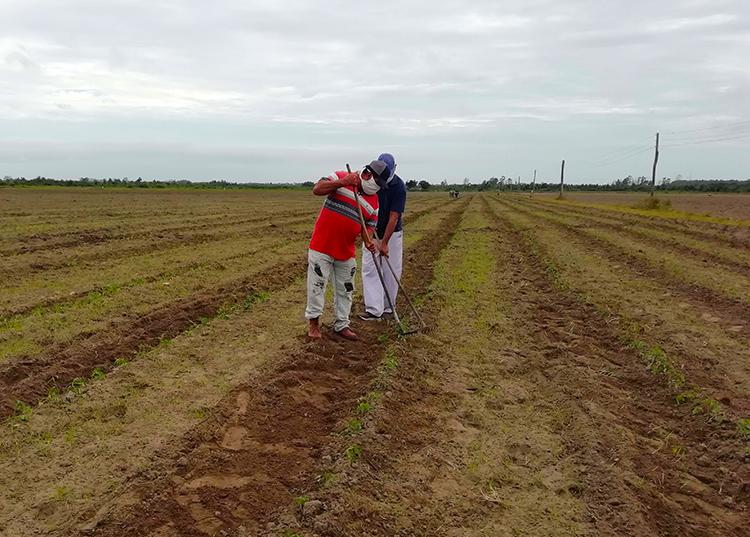 En los campos de Pinar del Río se batalla por la sobrevivencia de cada plantación
