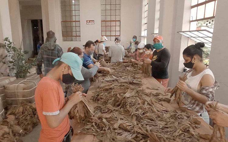 La masividad y respuesta desde los sindicatos a los trabajos voluntarios, es una expresión del poder de convocatoria de la CTC en Pinar del Río.