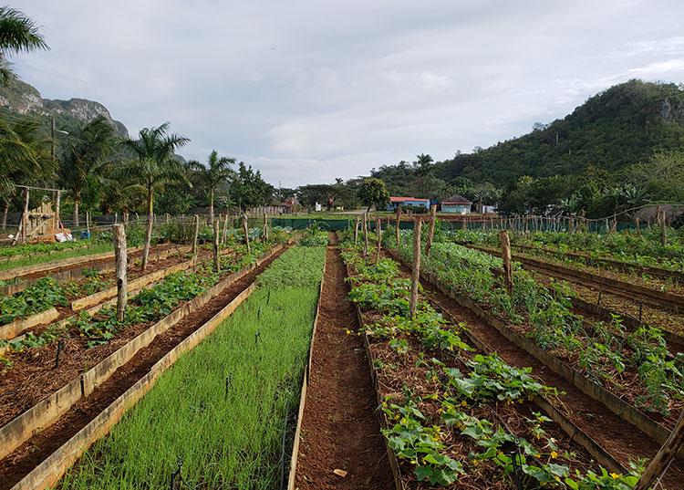 Las hortalizas y vegetales de La Cueva han encontrado un nuevo destino en centros asistenciales y educativos del municipio de Viñales. / Foto: Cortesía de Yosbel Fernández Martínez