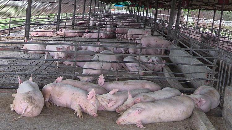 UEB Genética Porcina El Tigre.