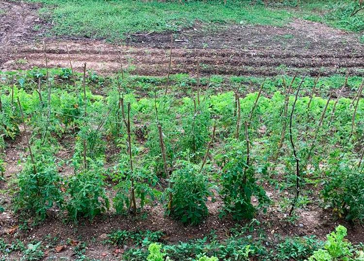 De los sembrados de tomate y col, con los que inició esta iniciativa, pudo autoabastecerse y compartir los productos con amigos y vecinos.