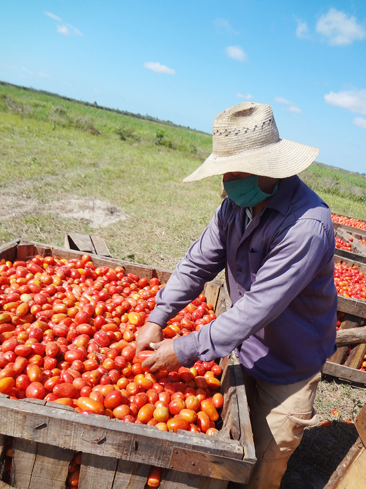 De la propia cosecha de tomate sacan la semilla para próximas zafras, y los rendimientos hablan por sí solos.