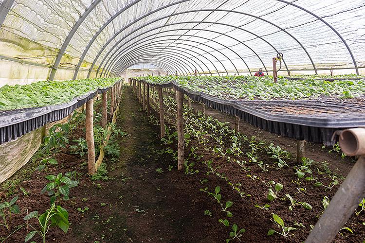 Cuando termina el periodo de siembra destina las casas de cultivo para la producción de alimentos.