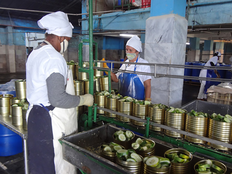 Aproximadamente 1.5 toneladas de pepino fresco procesan diariamente.