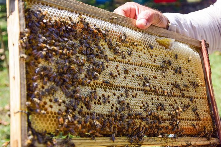 Las trashumancias y el cambio oportuno de la abeja reina son fundamentales para lograr una buena cosecha.