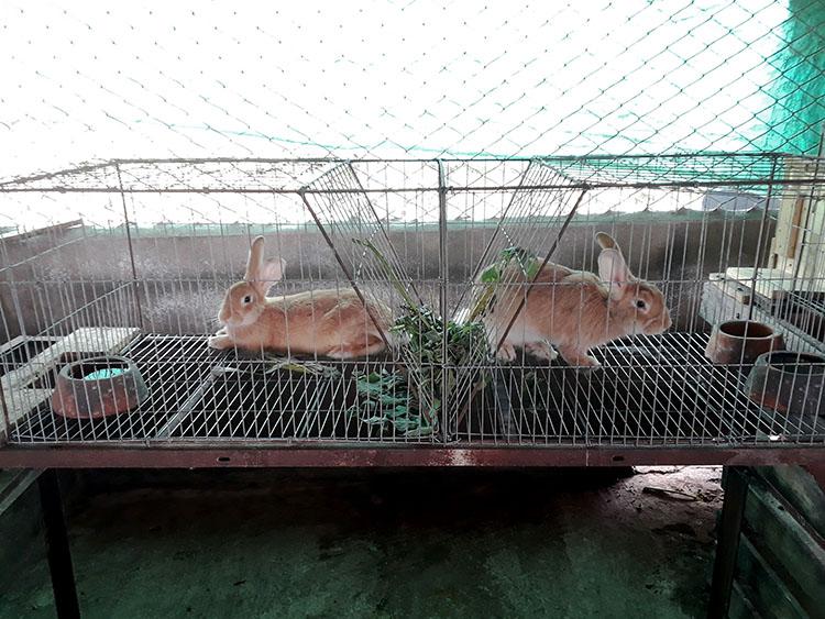Para la cría de conejos plantan piñón, titonia y morera.