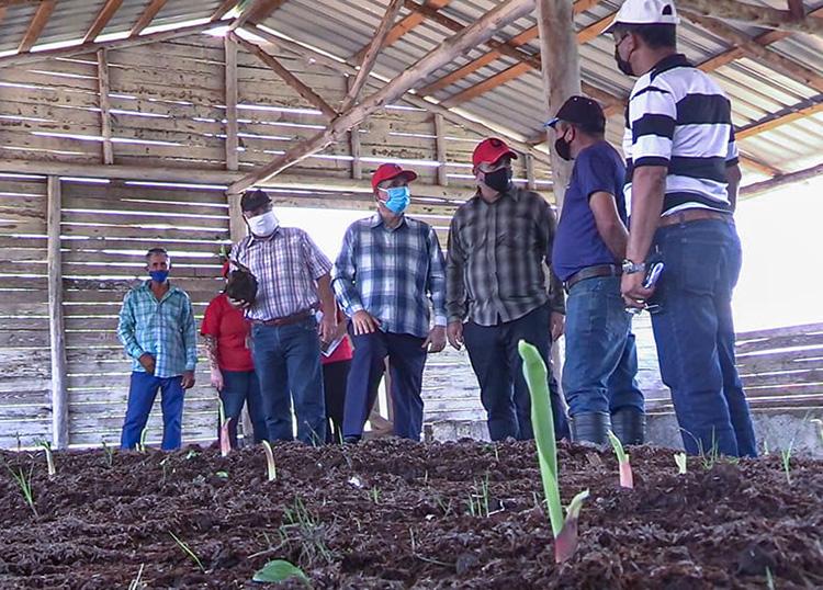 Recorren áreas agrícolas de Consolación del Sur en provincia Pinar del Río
