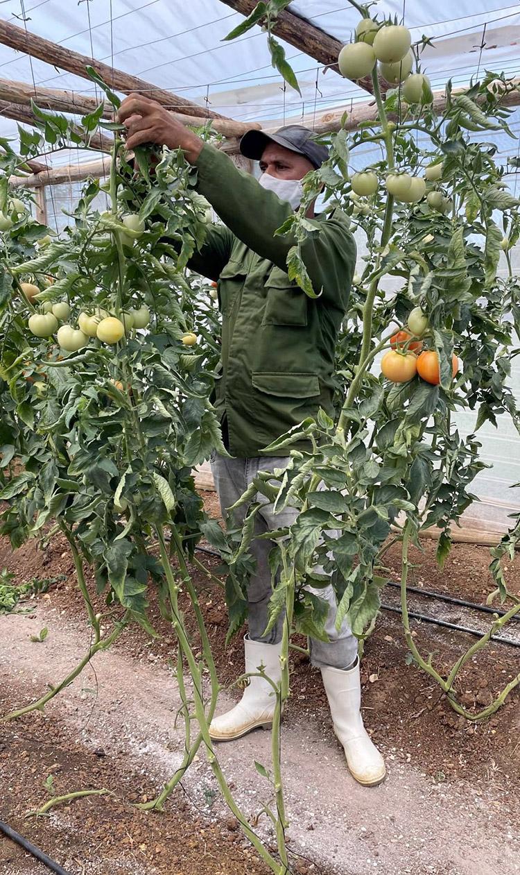 Las atenciones a la casa de cultivos han dado como resultado que se hayan acopiado más de una tonelada de tomates.