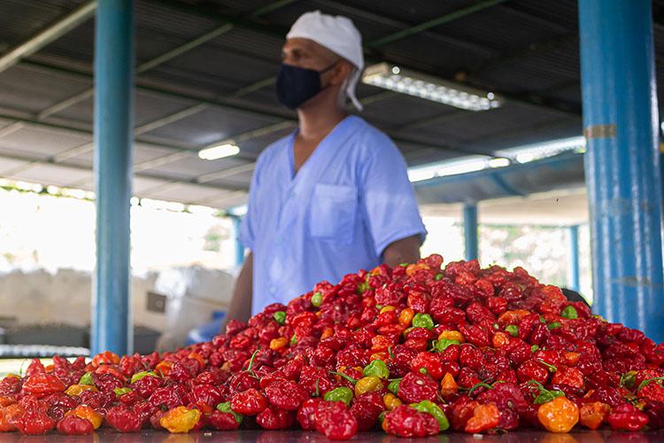 El ají picante chile habanero, de la variedad ajuma rojo, es uno de los rubros que exportan con el 80 por ciento de las producciones.