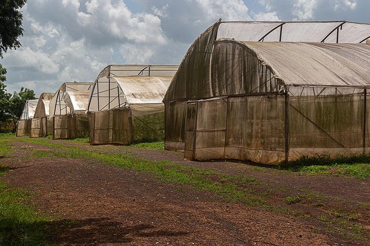 En casas de cultivo protegido producen el ají, aunque también incursionan en la modalidad a cielo abierto