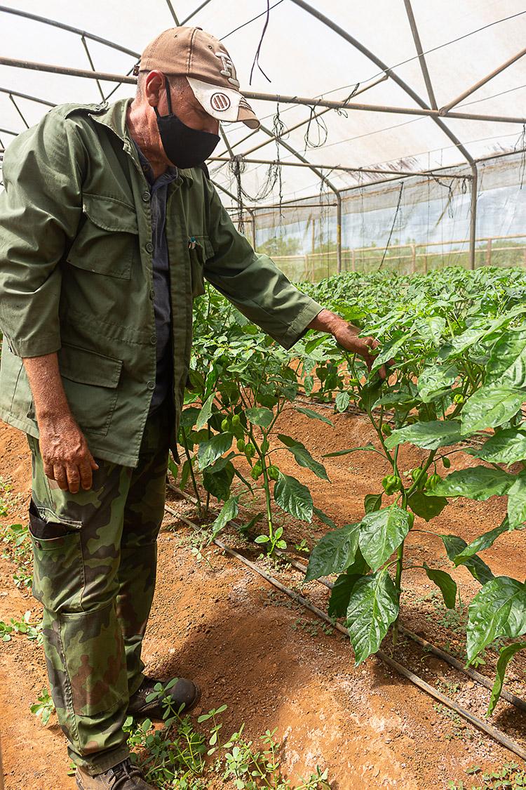 El 80 por ciento del ají picante que se produce en la UEB Casas de Cultivo de Cubaquivir es exportable.