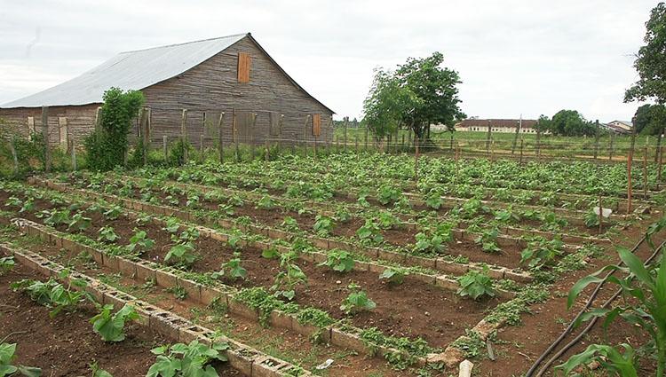 Poco a poco se va transformado el panorama agrícola y de la exclusividad tabacalera transitan hacia la diversificación.