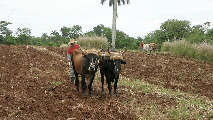 La recuperación de tierras ociosas es una de las prioridades para aprovechar todo el potencial productivo en aras del autoabastecimiento territorial.