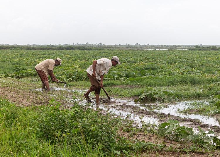Evalúan en Pinar del Río daños de huracán Ida a la agricultura