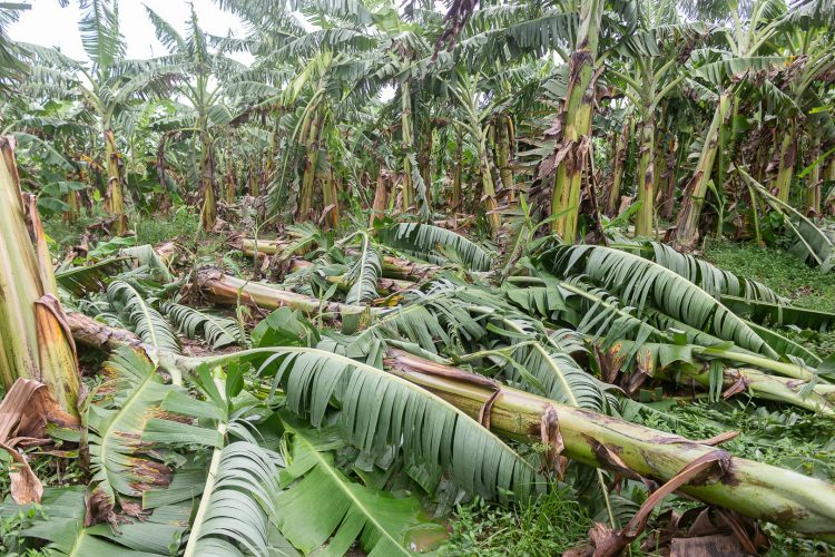 danos en cultimos pinar del rio 2