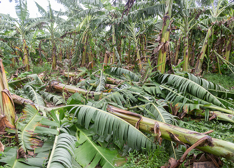 Reconocen afectaciones preliminares en Consolación del Sur tras el paso de Ida